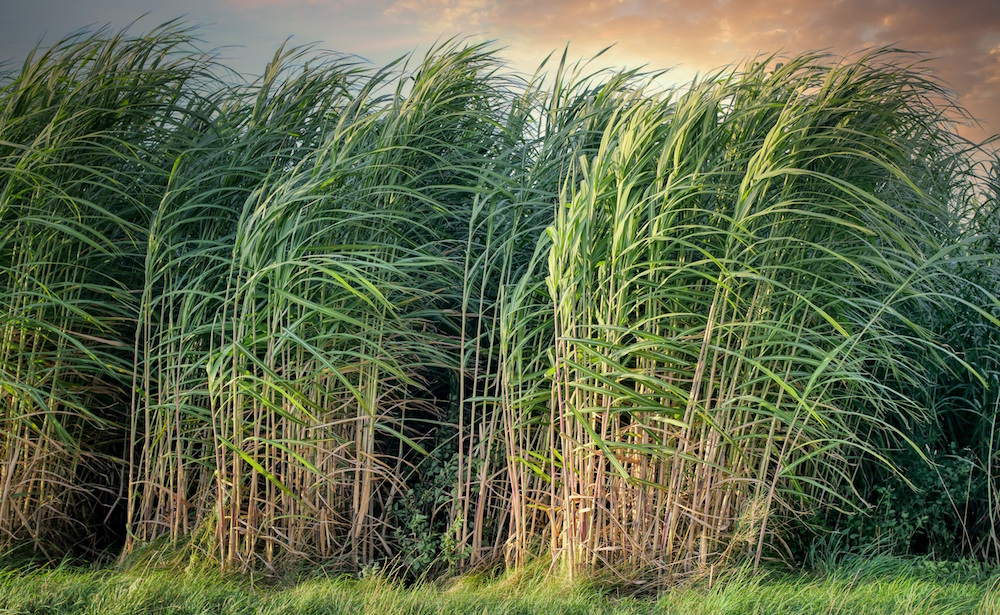 image of green sugar cane