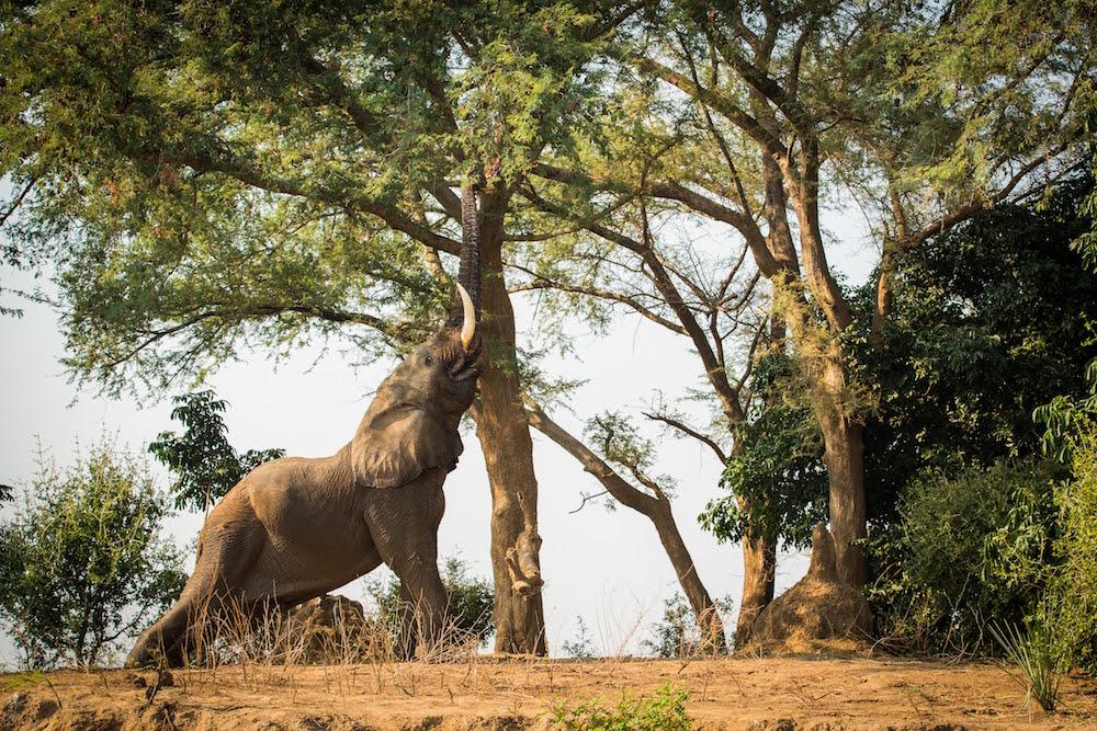 Elephant rubbing against tree